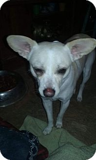 Chihuahua Dog for adoption in Decatur, Alabama - Dexter