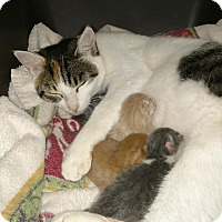 Adopt A Pet :: Davie, plus 6 kittens - Providence Forge, VA