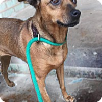 Feist Mix Dog for adoption in Holly Springs, Mississippi - Lulu