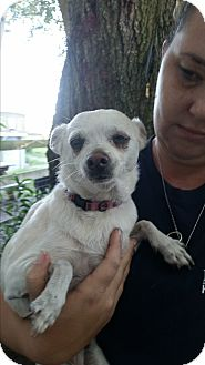 Chihuahua Dog for adoption in Chiefland, Florida - Sandy