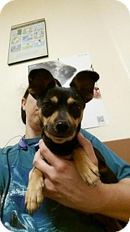 Chihuahua Mix Dog for adoption in Las Vegas, Nevada - Monday