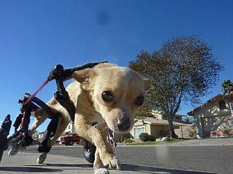 Chihuahua Dog for adoption in Phoenix, Arizona - Paris