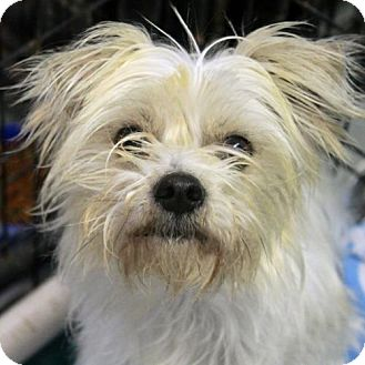 Westie, West Highland White Terrier Mix Dog for adoption in Waco, Texas - Reno