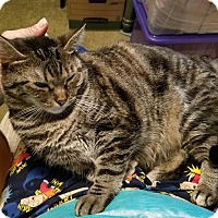 Domestic Shorthair Cat for adoption in Elmwood Park, New Jersey - Honey-Bun