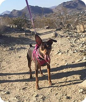 Miniature Pinscher Dog for adoption in Tustin, California - Charlie