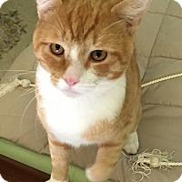 Adopt A Pet :: Orange sergius - Charlotte, NC