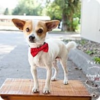 Adopt A Pet :: Perci - Shawnee Mission, KS