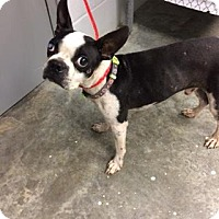 Boston Terrier Mix Dog for adoption in Paducah, Kentucky - Chad