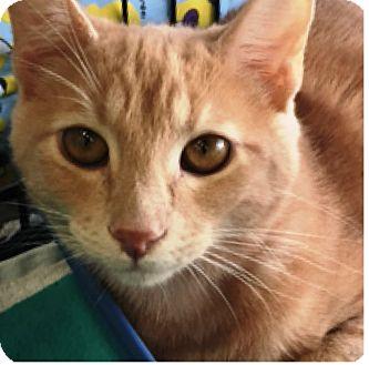 Domestic Shorthair Cat for adoption in Orange, California - Sunny