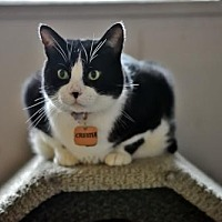 American Shorthair Cat for adoption in Montreal, Quebec - Chester
