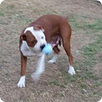 Adopt A Pet :: Prissy - Richland Hills, TX