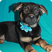 Adopt A Pet :: Apollo (has been adopted) - Albany, NY