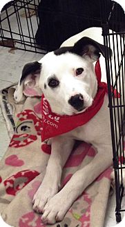 Dalmatian/Beagle Mix Puppy for adoption in Morgantown, West Virginia - Sprinkles