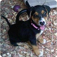Adopt A Pet :: Sweetie Pie - Allentown, PA