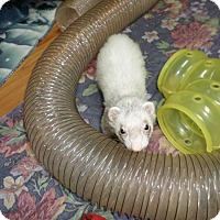 Ferret for adoption in Fawn Grove, Pennsylvania - Slinky