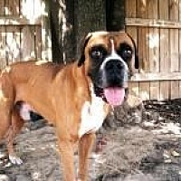 Boxer Dog for adoption in Memphis, Tennessee - Hercules
