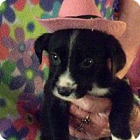 Labrador Retriever Mix Puppy for adoption in Albany, New York - Tatianna