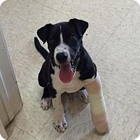 Adopt A Pet :: Kalvin - Woodward, OK