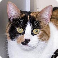 Calico Cat for adoption in Lafayette, California - Mimi