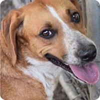 Labrador Retriever Mix Dog for adoption in Saginaw, Michigan - Cali