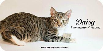 Domestic Shorthair Kitten for adoption in Modesto, California - Daisy