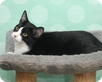Domestic Shorthair Kitten for adoption in Chippewa Falls, Wisconsin - Pizza