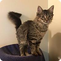Domestic Mediumhair Kitten for adoption in Davison, Michigan - Maggie