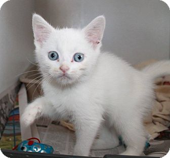 Domestic Shorthair Kitten for adoption in Butner, North Carolina - Snowball