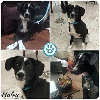 Labrador Retriever/Border Collie Mix Puppy for adoption in Kimberton, Pennsylvania - Haley