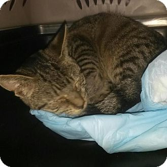 American Shorthair Cat for adoption in Reston, Virginia - Gainer