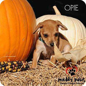 Chihuahua/Dachshund Mix Puppy for adoption in Council Bluffs, Iowa - Opie