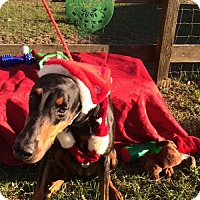 Doberman Pinscher Dog for adoption in Houston, Texas - Lady Byrd