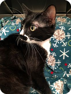 Domestic Shorthair Cat for adoption in North Las Vegas, Nevada - Mrs. Stache
