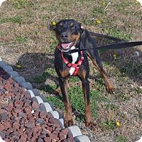 Adopt A Pet :: Zelda - Larned, KS