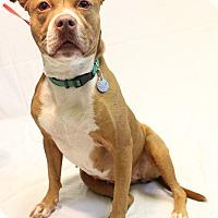 Adopt A Pet :: Karma - Bradenton, FL