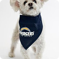 Poodle (Miniature) Mix Dog for adoption in San Diego, California - Babecakes