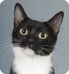 Domestic Shorthair Cat for adoption in Libertyville, Illinois - Penelope