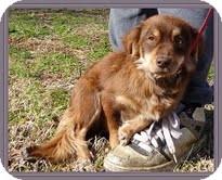 Dachshund/Spaniel (Unknown Type) Mix Dog for adoption in Washington, D.C. - Emma Lou