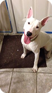 Bull Terrier Dog for adoption in Sachse, Texas - Tucker