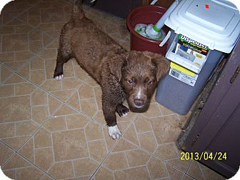 Chesapeake Bay Retriever/Australian Shepherd Mix Puppy for adoption in Denver, Indiana - Tanner