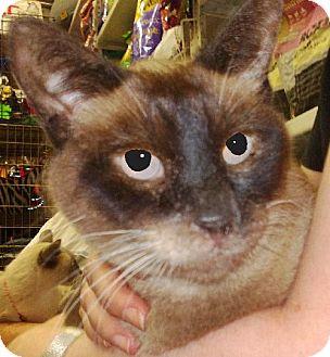 Siamese Cat for adoption in New York, New York - Maxinne