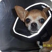 Adopt A Pet :: Reddie - Shawnee Mission, KS