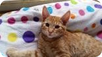 Domestic Shorthair Kitten for adoption in Mountain Center, California - Elgin