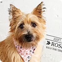 Adopt A Pet :: Rosie - Omaha, NE