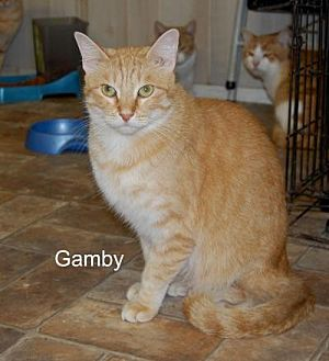 Domestic Shorthair Cat for adoption in Jackson, Mississippi - Gamby