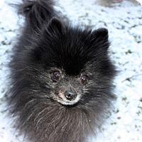 Adopt A Pet :: Pistol - Boise, ID