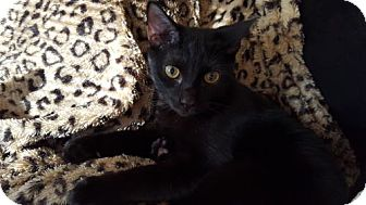 Domestic Shorthair Cat for adoption in Orlando, Florida - Jinxx (JHP/TH) 8.14.15