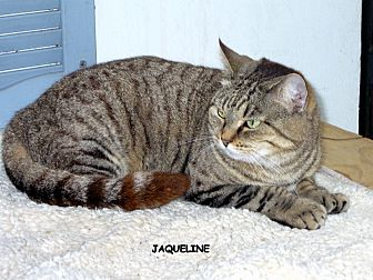 Domestic Shorthair Cat for adoption in Naples, Florida - Jacqueline