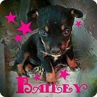 Adopt A Pet :: Bailey2 - Aurora, CO