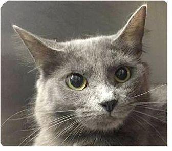 Russian Blue Cat for adoption in Springdale, Arkansas - Rachel